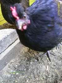 praten als een kip zonder kop betekenis